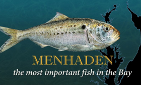 Menhaden – Video